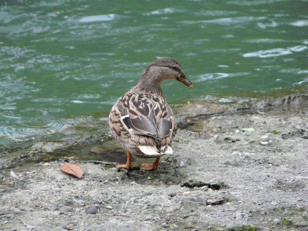 Eine spanische Ente - gibt es da einen Unterschied?