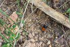 Eine Spinne...? Aber was für eine? Eine rote Röhrenspinne!