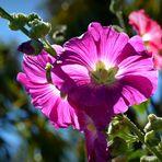 Eine Stockrose in der Sonne Neuseelands