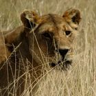 Eine stolze Löwin!