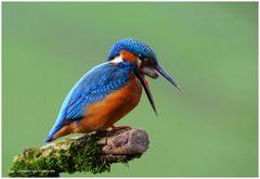 --- Eine Studie von vier Foto's vom Eisvogel ---