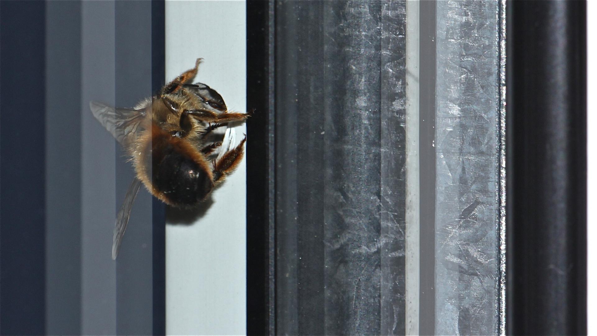 Eine Tafel von Grautönen von schwarz bis weiß - nur ist mir eine Rote Mauerbiene (Osmia rufa) . . .
