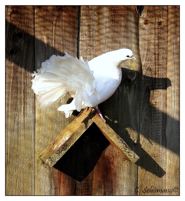 eine Taube auf dem Dach...