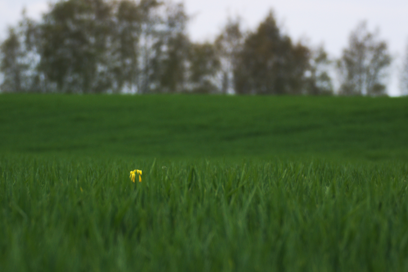 Eine Tulpe im Getreidefeld
