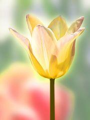 Eine Tulpe in strahlendem Sonnenschein