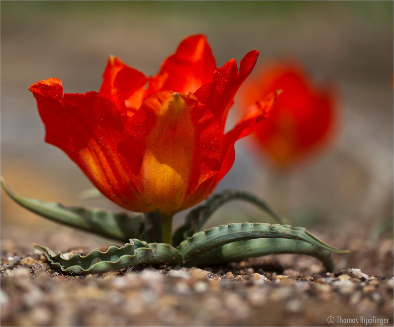 Eine Tulpe mal ohne Stiel.....