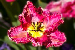 Eine Tulpe zu Ostern