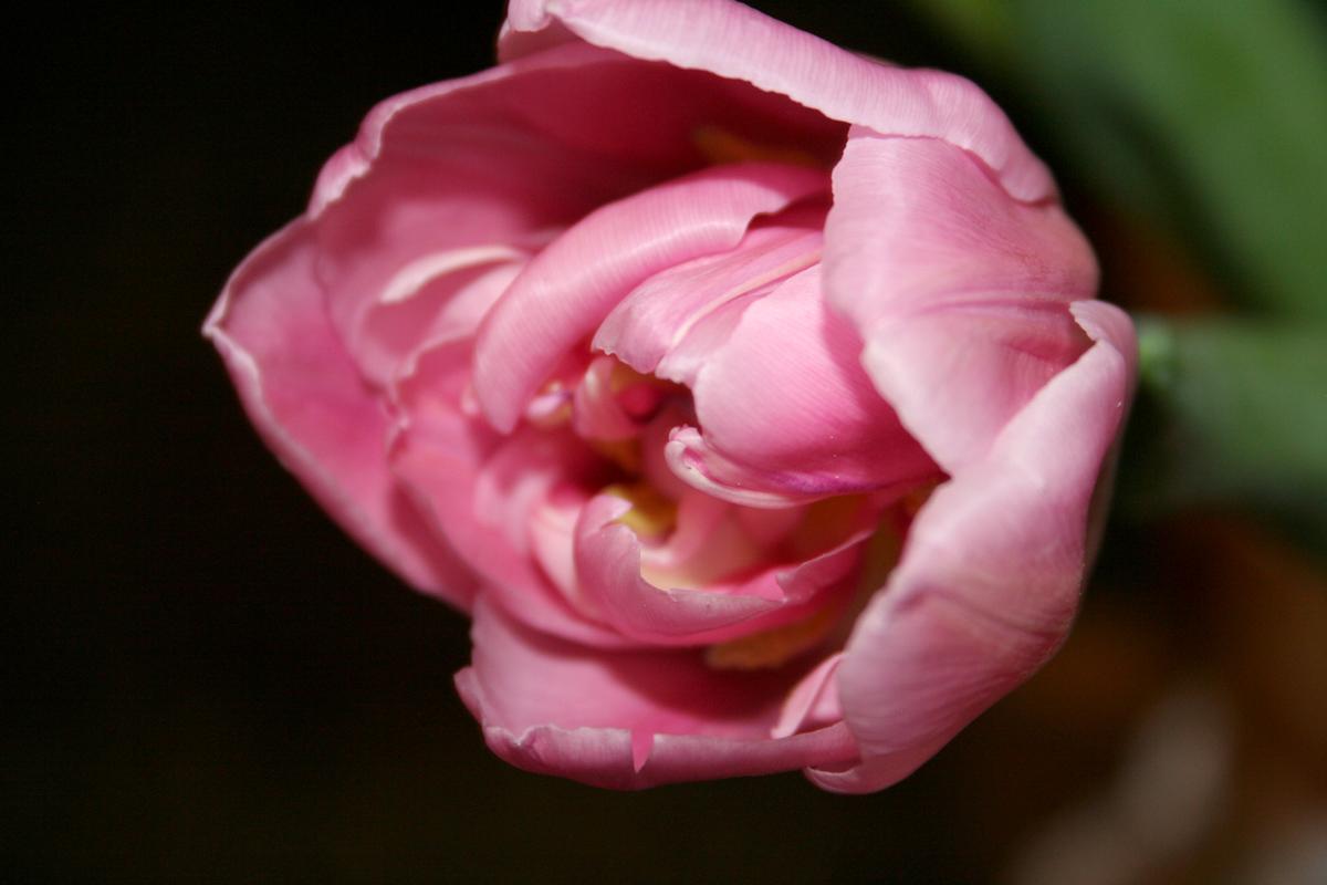 Eine Tulpe zum Sonntag