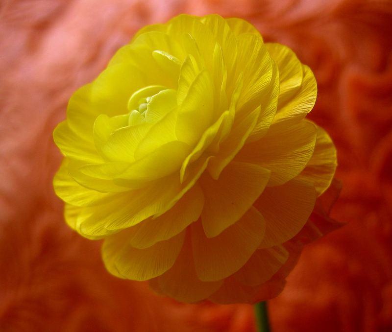 eine vielblättrige Blüte