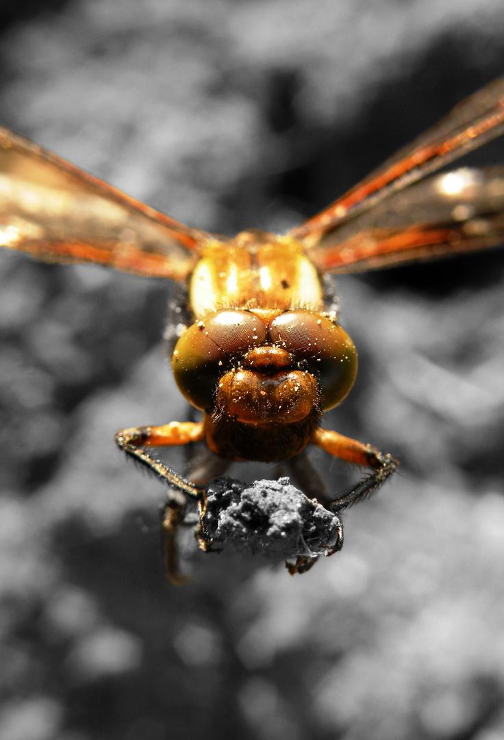 Eine weibliche Plattbauchlibelle