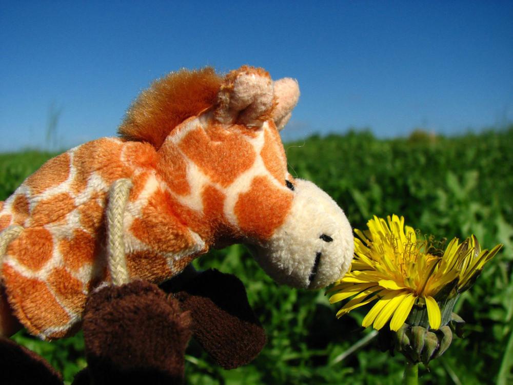 eine weidende Kuh... ohhh ich meine eine Giraffe