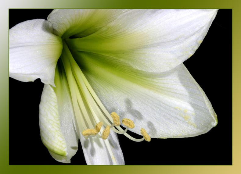 Eine weiße Blüte für den Frieden