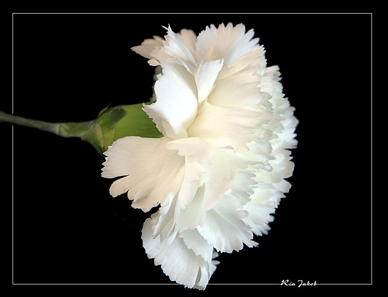 eine weiße nelke............