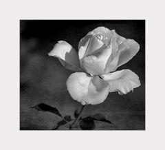 eine weiße Rose...