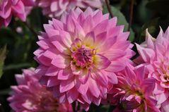 Eine weitere Dahlienblüte