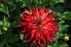 Eine weitere Variante einer Dahlienblüte