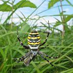 Eine Wespenspinne bewacht ihre Beute