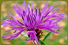 Eine Wiesen-Flockenblume