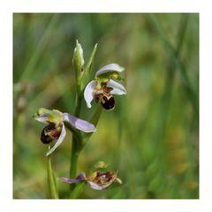eine wilde Orchidee