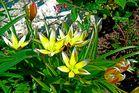 Eine wilde Tulpe