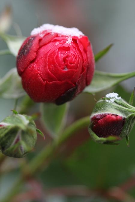 Eine winterliche Rose