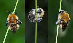 Eine winzige Wildbiene im tiefen Gras. - Une petite abeille sauvage.