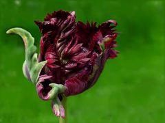 Eine wirre Tulpe
