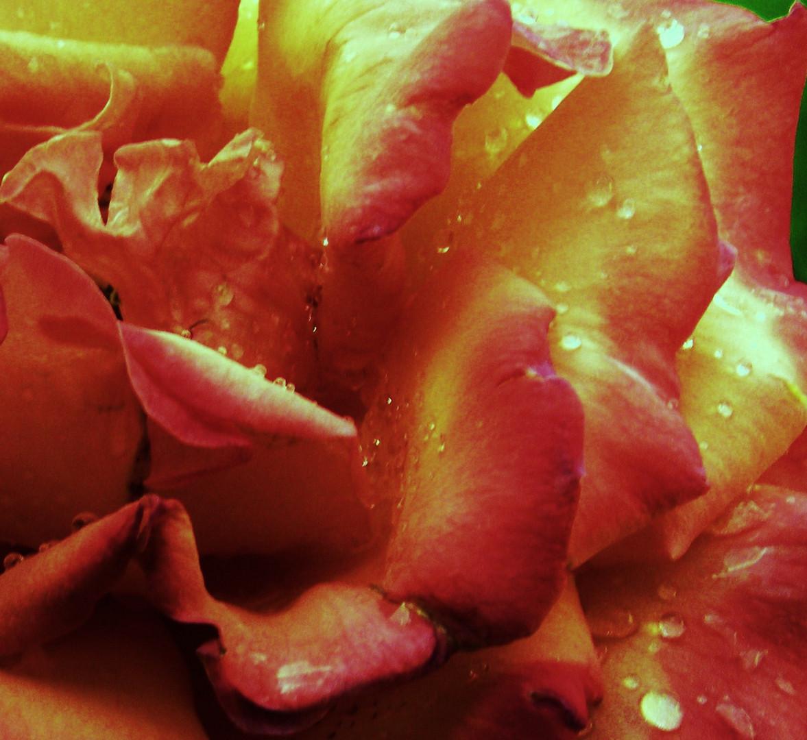 eine zärtliche rosa Rose für Euch