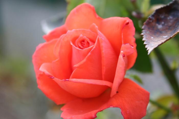 eine zarte Rose