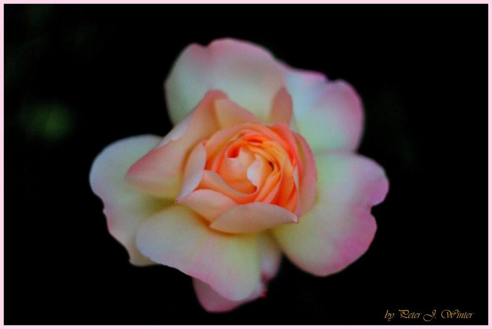 eine zarte rose extra f r dich foto bild pflanzen pilze flechten bl ten. Black Bedroom Furniture Sets. Home Design Ideas
