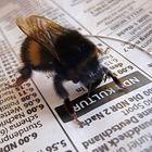 Eine Zeitung lesende Hummel