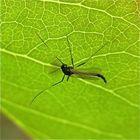 Eine Zuckmücke in schwarz mit hellem mittleren Drittel der Vorderbeine . . .,