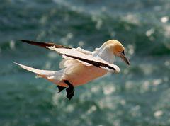 Einem Albatross gleich