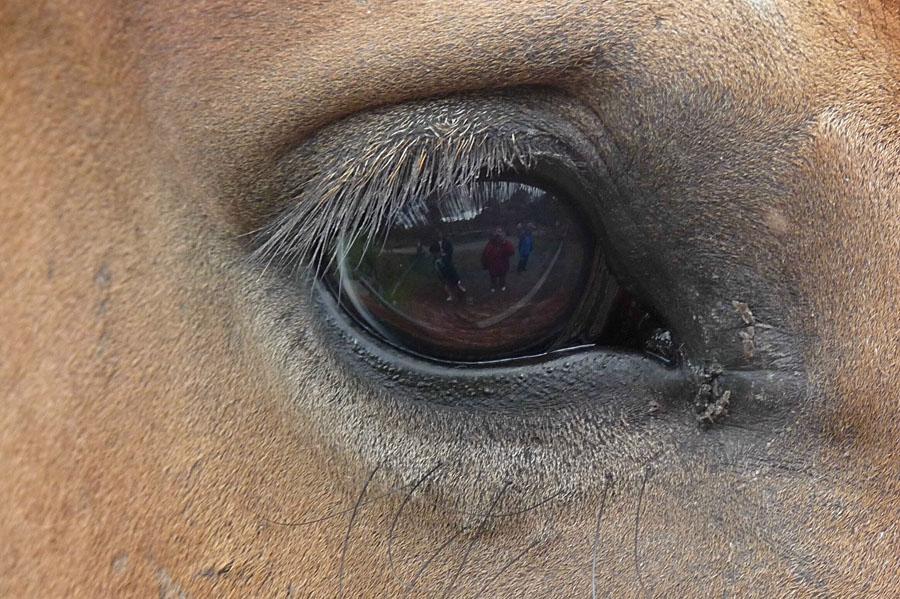 Einem Kaltblutpferd ins Auge geschaut