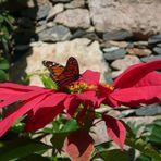 Einen fröhlichen Nikolaus wünsche ich Euch ... dieser Monarch regiert sein Weihnachtsblumenreich
