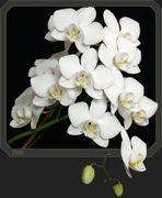 Einen schönen Gruß an alle FC'ler mit einer Orchidee