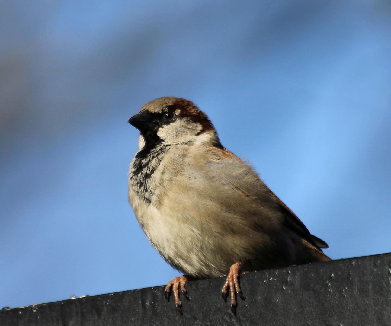 Einen Sperling