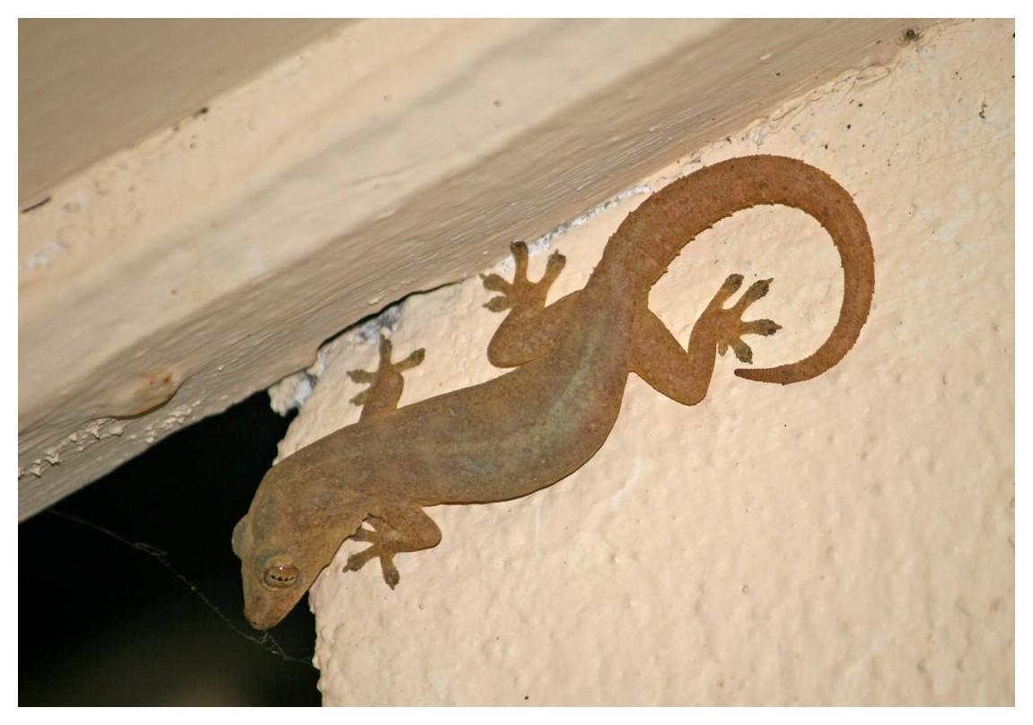 einer der Geckos..die ständigen Begleiter im offenen Bad