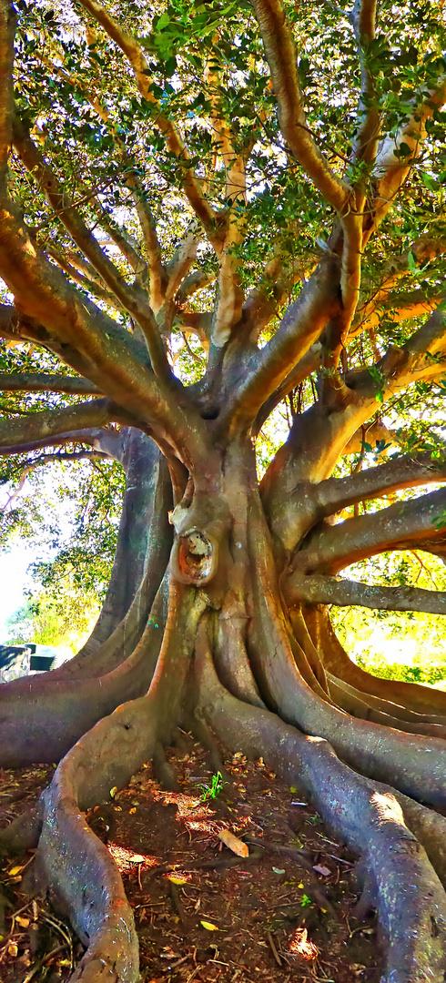 Einer der größten Feigenbäume der Welt am Pahi Beach