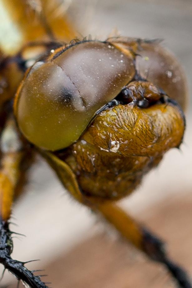 Einer Libelle ins Auge geschaut
