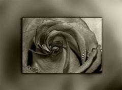 Einfach eine Rose