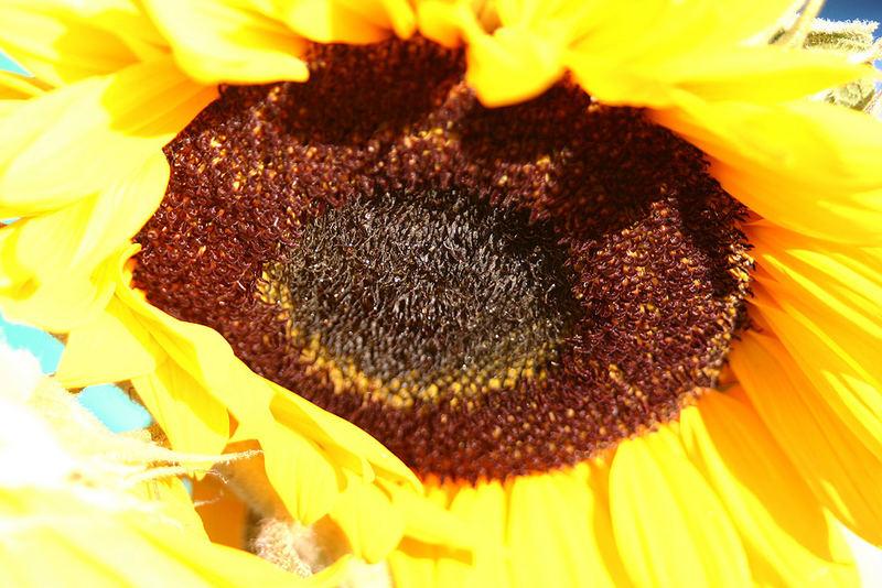 einfach eine Sonnenblume