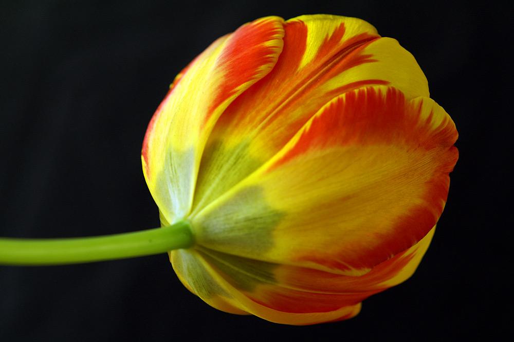 Einfach eine Tulpe