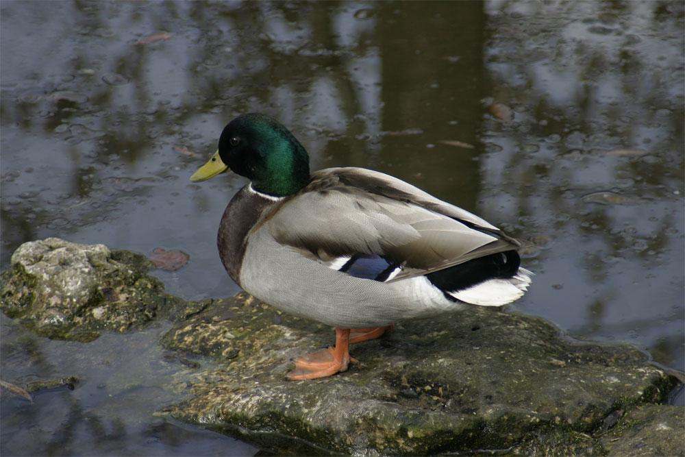 Einfach Ente ;-)