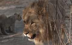 einfach Löwe