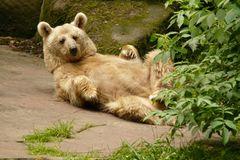 Einfach nur Bär