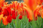 Einfach nur Bild mit Tulpen