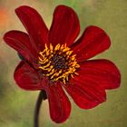Einfach nur eine rote Blüte.