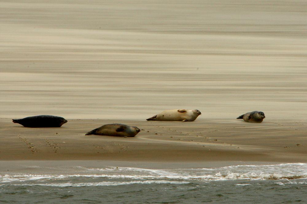 einfach nur Robben (vor Borkum)