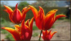 Einfach Tulpen